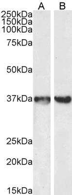 GAPDH Antibody gallery image 3