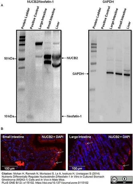 GAPDH Antibody gallery image 6