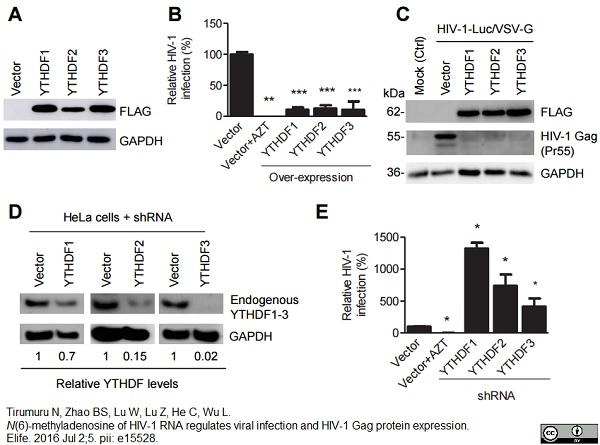 GAPDH Antibody   4G5 gallery image 3