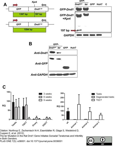 GAPDH Antibody   4G5 gallery image 2