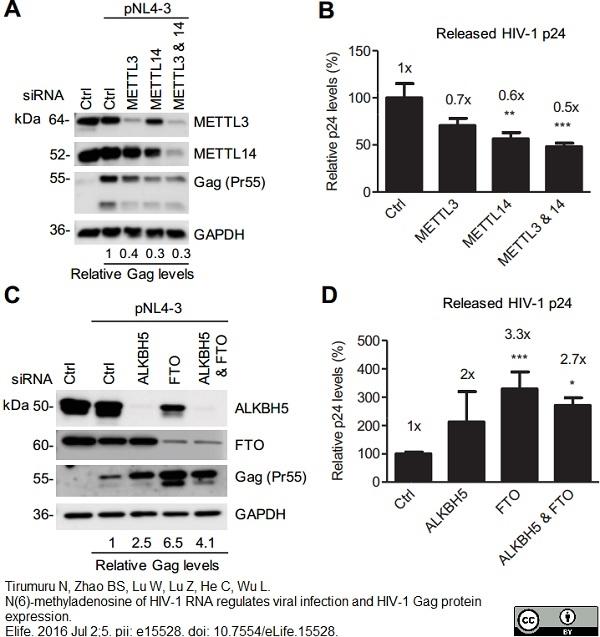 GAPDH Antibody | 4G5 thumbnail image 5