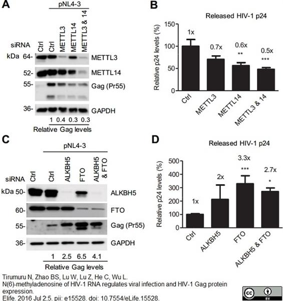 GAPDH Antibody   4G5 gallery image 5