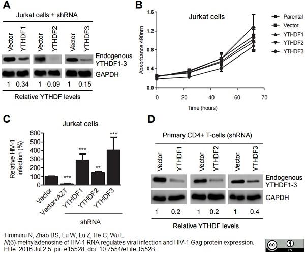 GAPDH Antibody | 4G5 thumbnail image 4