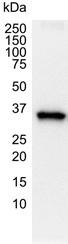 GAPDH Antibody | 4G5 gallery image 1