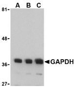 GAPDH Antibody gallery image 1