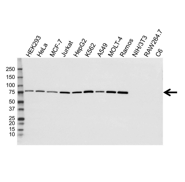 GARS Antibody (PrecisionAb<sup>TM</sup> Antibody) | OTI4H8 gallery image 1