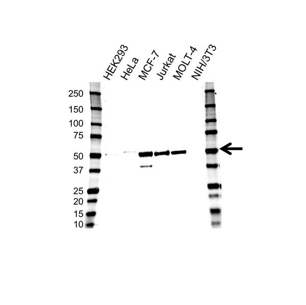 GATA3 Antibody (PrecisionAb<sup>TM</sup> Antibody) | OTI8H4 gallery image 1