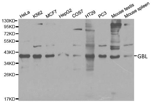 Gbl Antibody gallery image 1