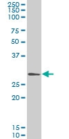 Gclm Antibody | 2B8 gallery image 1
