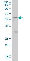 GDF7 Antibody | 3D12 gallery image 1