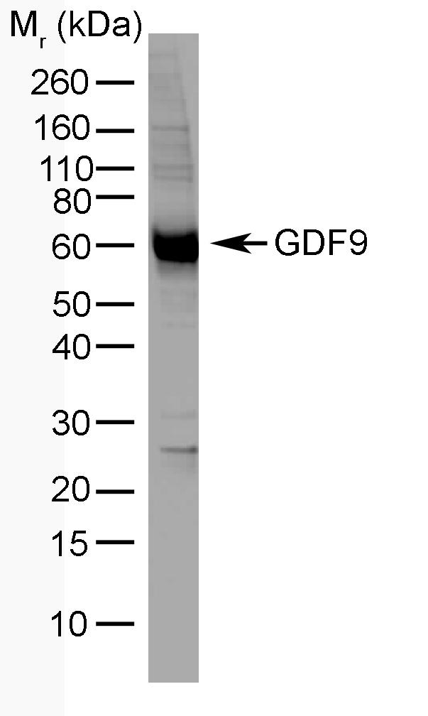 GDF9 Antibody   mAb-GDF9-53 gallery image 1