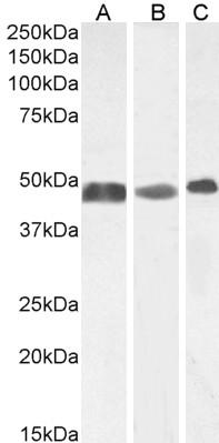GFAP Antibody gallery image 1