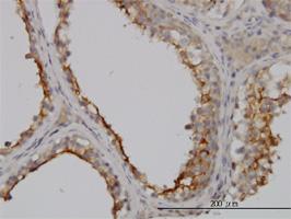 GGT1 Antibody   1F9 gallery image 2