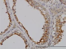 GGT1 Antibody | 1F9 gallery image 2