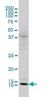 GLRX Antibody | 3C11 gallery image 2