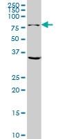 GLS Antibody | 5C4 gallery image 2