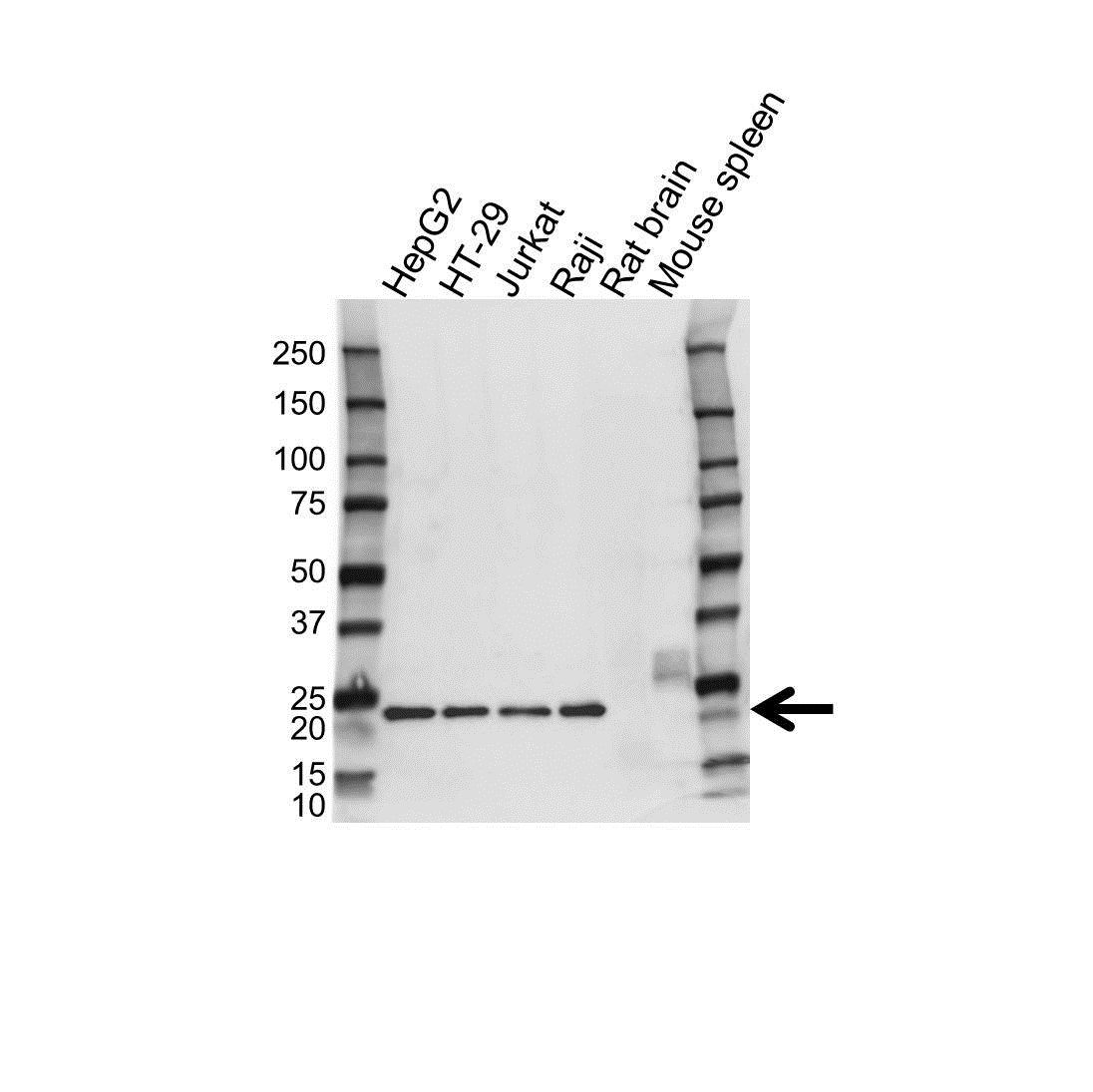 Glucagon Antibody (PrecisionAb<sup>TM</sup> Antibody) gallery image 1