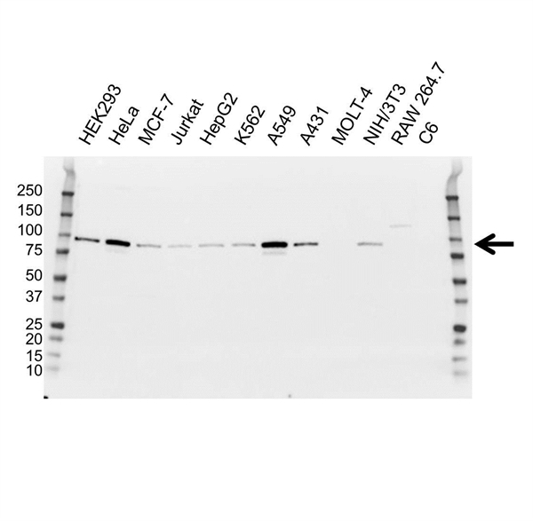 Glucocorticoid Receptor Antibody (PrecisionAb<sup>TM</sup> Antibody) | 2C4 gallery image 1