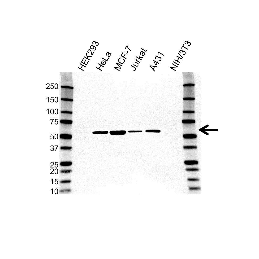 Glucose-6-Phosphate Dehydrogenase Antibody (PrecisionAb<sup>TM</sup> Antibody) gallery image 1