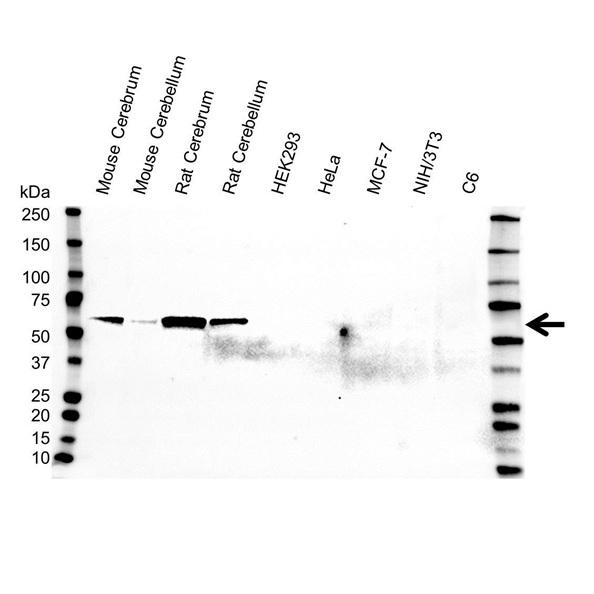 Glutamate Decarboxylase 2 Antibody (PrecisionAb<sup>TM</sup> Antibody) gallery image 1