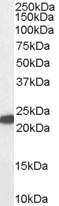Glutathione Peroxidase 1 Antibody gallery image 1