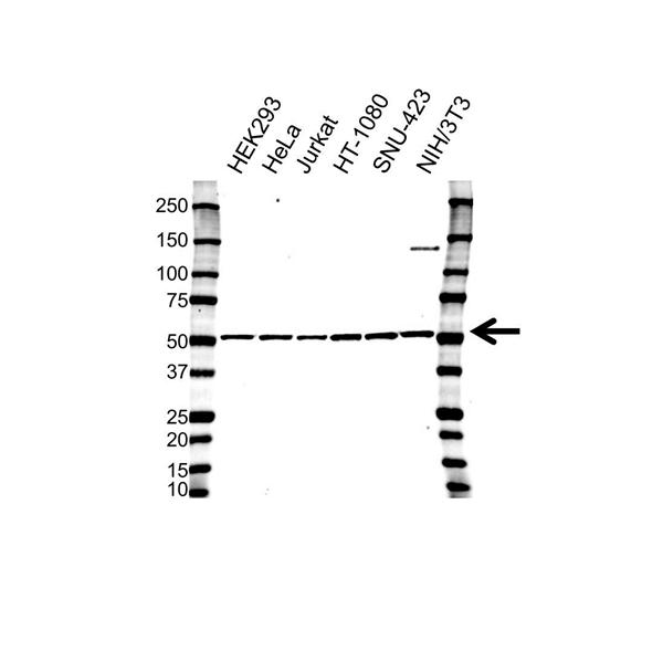 Glutathione Synthetase Antibody (PrecisionAb<sup>TM</sup> Antibody) | OTI2F2 gallery image 1