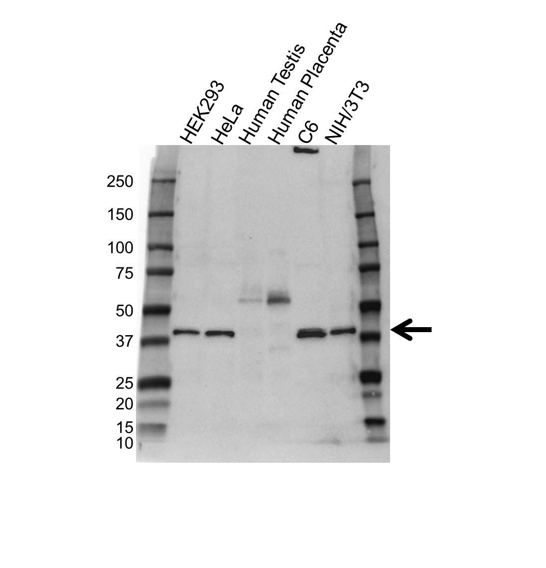GNA11 Antibody (PrecisionAb<sup>TM</sup> Antibody) gallery image 1