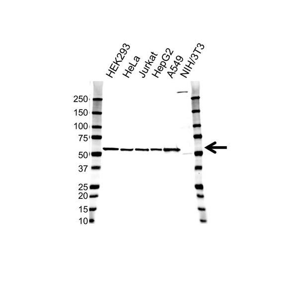 GPI Antibody (PrecisionAb<sup>TM</sup> Antibody) gallery image 1