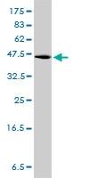 GPR3 Antibody | 3B4-G3 gallery image 1
