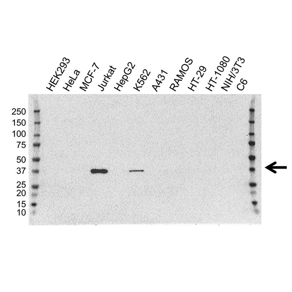 GRAP2 Antibody (PrecisionAb<sup>TM</sup> Antibody) | 1G2 gallery image 1
