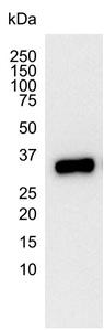 GRAP2 Antibody | 1G12 gallery image 3