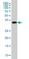 GRAP2 Antibody | 1G12 gallery image 2