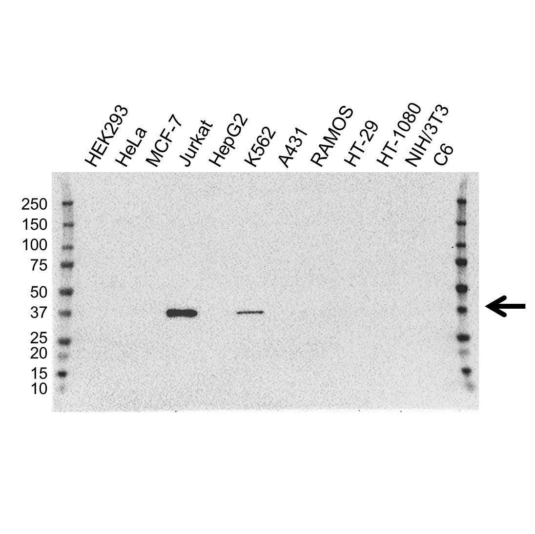 GRAP2 Antibody (PrecisionAb<sup>TM</sup> Antibody) | OTI1G2 gallery image 1