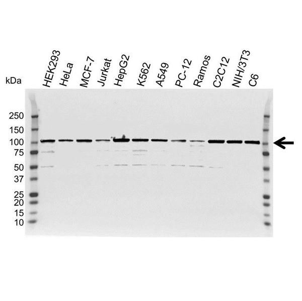 GRP94 Antibody (PrecisionAb<sup>TM</sup> Antibody) gallery image 1