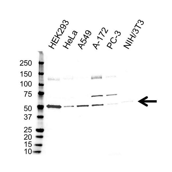 GSK3 Alpha Antibody (PrecisionAb<sup>TM</sup> Antibody) gallery image 1