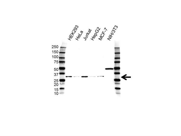 H1FX Antibody (PrecisionAb<sup>TM</sup> Antibody) gallery image 1