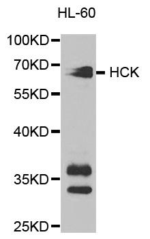 Hck Antibody gallery image 1