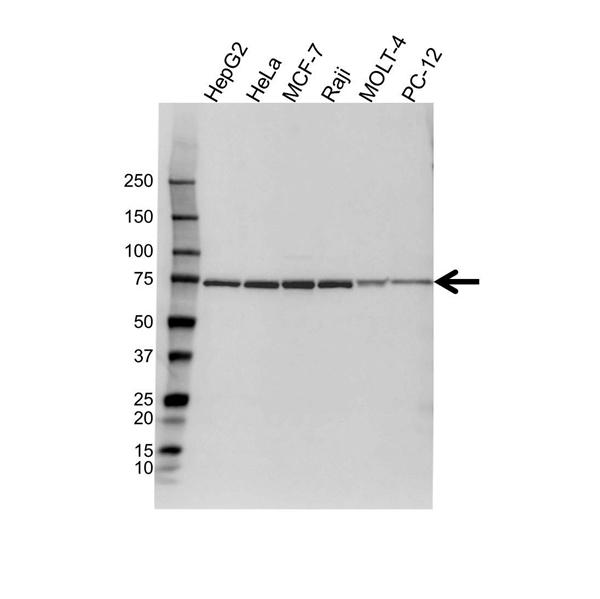 Heat Shock 70 Kda Protein 1-Like Antibody (PrecisionAb<sup>TM</sup> Antibody) gallery image 1