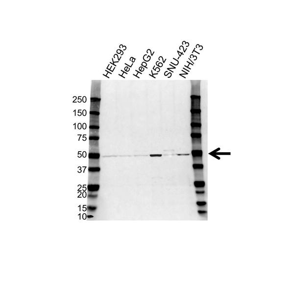 Heat Shock 70 Kda Protein 14 Antibody (PrecisionAb<sup>TM</sup> Antibody) gallery image 1