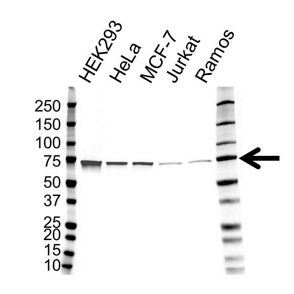 Heat Shock 70 Kda Protein 4 Antibody (PrecisionAb<sup>TM</sup> Antibody) gallery image 1