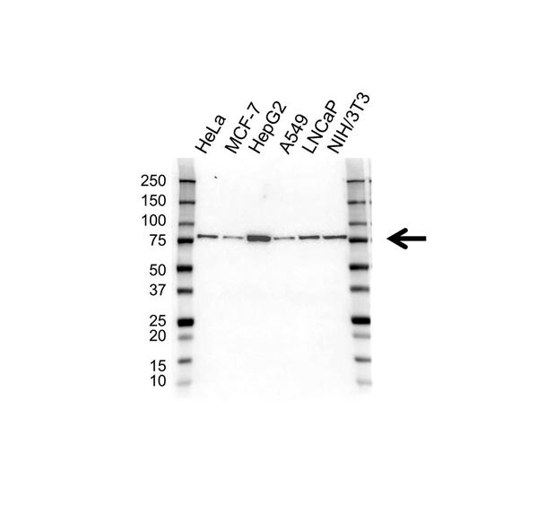 Heat Shock 70 Kda Protein 5 Antibody (PrecisionAb<sup>TM</sup> Antibody) gallery image 1
