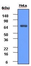 Heat Shock Protein 70 Antibody | 4E7 gallery image 2