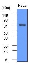 Heat Shock Protein 70 Antibody   4E7 gallery image 2