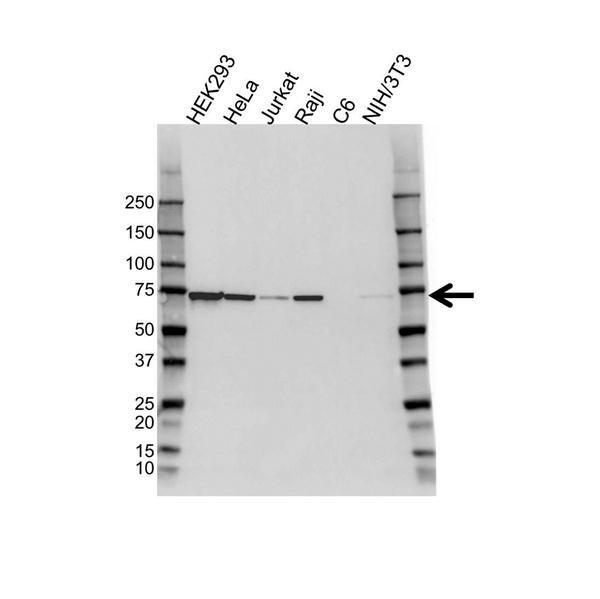 Heat Shock Protein 72 Antibody (PrecisionAb<sup>TM</sup> Antibody) gallery image 1