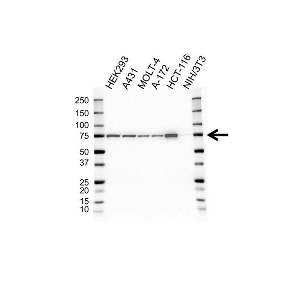 Heat Shock Protein 75 Antibody (PrecisionAb<sup>TM</sup> Antibody) | 1A1 gallery image 1