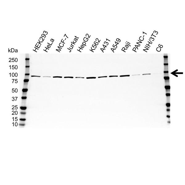 Heat Shock Protein 90 Alpha Antibody (PrecisionAb<sup>TM</sup> Antibody) gallery image 1