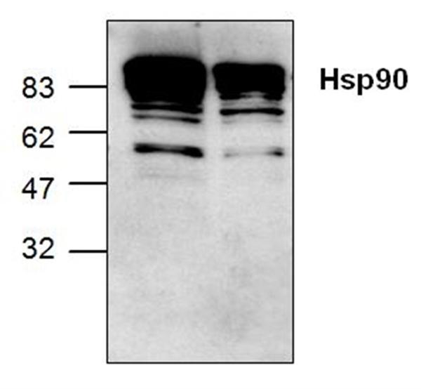 Heat Shock Protein 90 Alpha Antibody gallery image 1