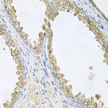 Heat Shock Protein 90 Alpha Antibody gallery image 2
