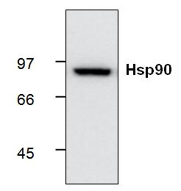 Heat Shock Protein 90 Antibody | S88 gallery image 1