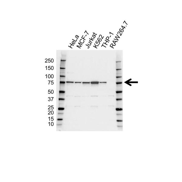 HEC1 Antibody (PrecisionAb<sup>TM</sup> Antibody) gallery image 1